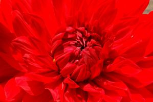 Crimson Dahlia... by smfoley