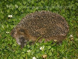 Hedgehog in the clover by Ophelia-Yvaine
