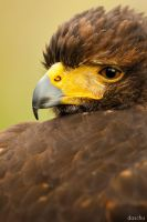 Harris Hawk / Wuestenbussard by DaSchu