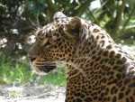 Sri Lanka panther by JanuaryGuest