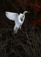 egret003 by padgination
