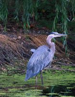 Great Blue Heron 02 by andras120