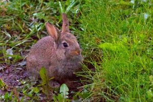 Young rabbit in grass by Steve-FraserUK