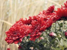 Red flowers after rain by Smile-Denise