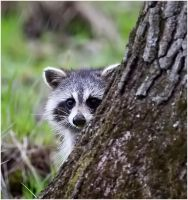 Racoon by my-cousine-vinny