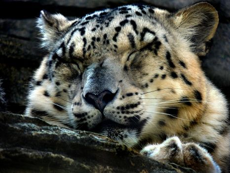 Snow Leopard by HI-forever