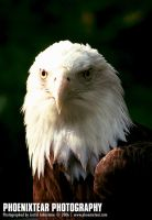 Zoo: Bald Eagle III by Phoenixtear
