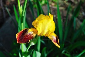 Iris in sunlight by beautythroughalens