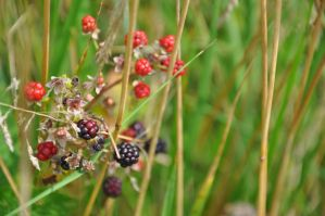 Wild Berries by Demi-Plum