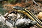 The Garter Snake by OrioNebula