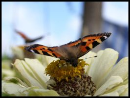 Butterfly by elsson