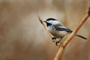 Black-capped Chickadee by Kintarotpc