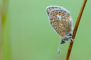 Common blue / 1 by andabata