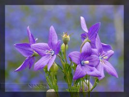 Chinese Bellflower by Wild-Soul