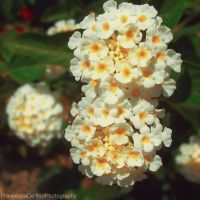 Little white flowers by FrancescaDelfino