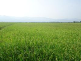 Rice Field by xxonnn