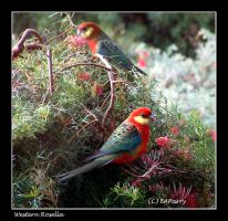 Western Rosella Male by AdamsWife