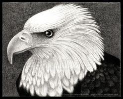 Eagle by LadyFromEast
