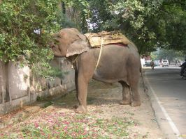 India 2010 - Elephant by crotafang