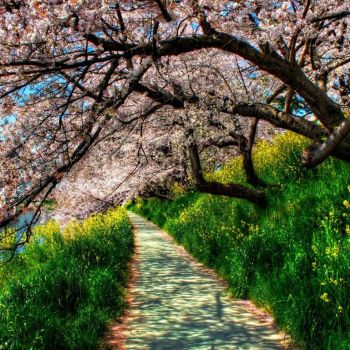 Cherry trees by cherryfoxy69