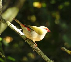 Red Masked Firetail by DragonDew
