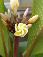 Frangipani Furl by surfing-ant