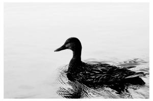 Duck by Arcanacaries