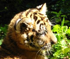 Tiger Cub in the Sun by Psychopomp16