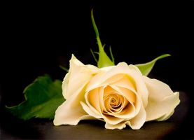 Yellow Rose by Toscarob