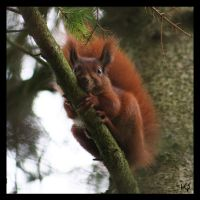 Squirrel by Globaludodesign