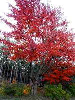 Big Red Tree by AG88