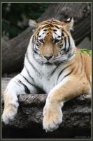 Amur Tiger 17 by Globaludodesign