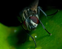 August House Fly 001 by otas32