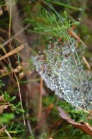 Wet spiderweb by AsILyingDead
