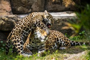 Jaguars 5 by 904PhotoPhactory