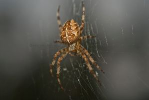 Spider in the Web. by Zaralith