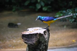 golden-breasted starling 1.10 by meihua-stock