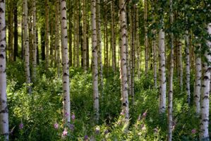 Birch forest by sampok
