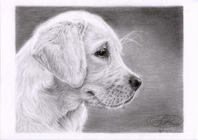 Chiot labrador by morvandelle