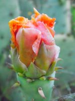 Pink and Orange Cacti Flower by TheGerm84