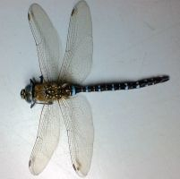 Dragonfly stock image 2 by zpyder
