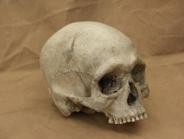 Human skull 12 jpeg by Pronus