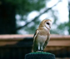 Barn Owl by LuckyIrishEyes