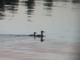 Great Crested Grebes by Lightningball