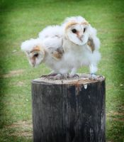 Baby Barn Owls by EscaBowmer