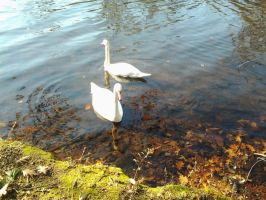 Just Swans by GUDRUN355