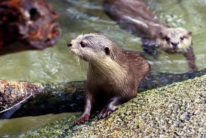 Otters I by josgoh