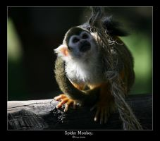 Spider Monkey. by FSGPhotography