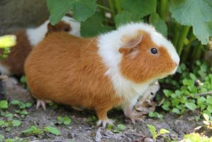 Guinea pig on the look by loly-slaapt