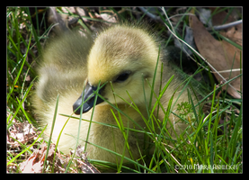 Baby Goose in Grass by Mogrianne